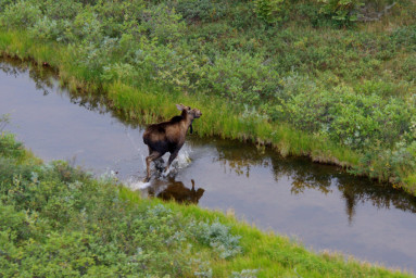 Churchill Wildlife Moose