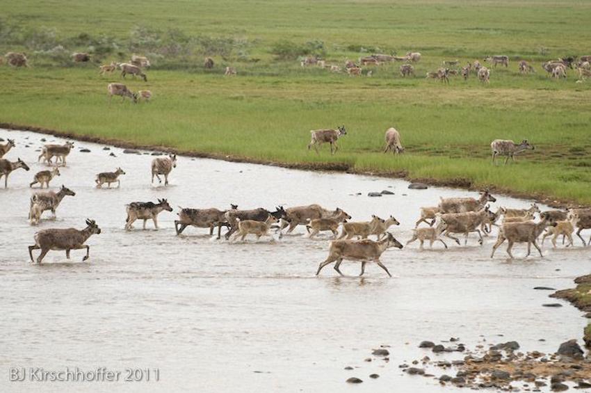 Churchill Wildlife Deer