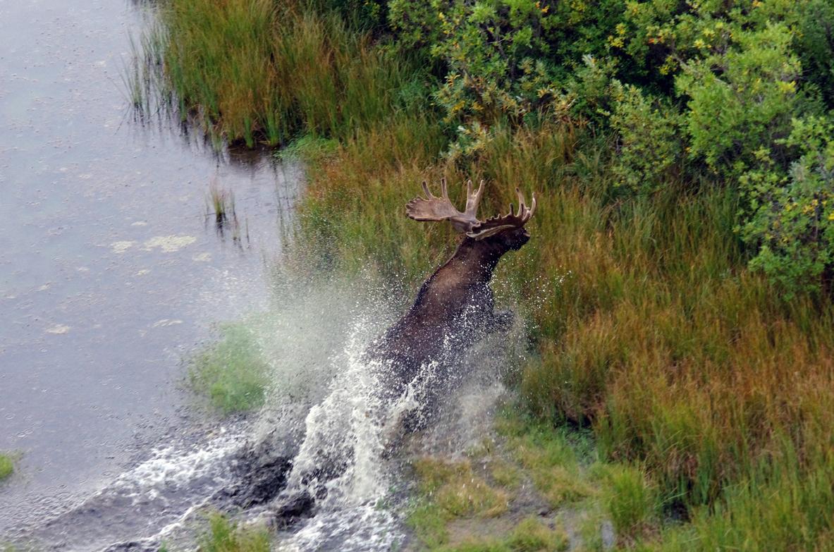 Churchill Wildlife Moose